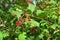 Stock Image : Red Viburnum berries in the tree