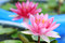 Stock Image : Red water-lily