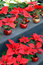 Stock Image : Red and white poinsettia flowers