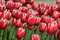 Stock Image : Red and White Tulips