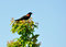 Stock Image : Red Winged Blackbird