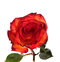 Stock Image : Red and yellow rose