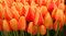 Stock Image : Red and Yellow Tulips