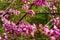 Stock Image : Redbud blossoms