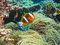 Stock Image : Reef Anemonefish, Great Barrier Reef, Australia