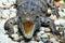 Stock Image : Reptiles, freshwater crocodiles
