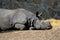 Stock Image : Resting rhino
