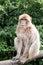 Stock Image : Rhesus monkey