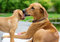 Stock Image : Rhodesian Ridgeback puppy groomed by mother