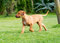 Stock Image : Rhodesian Ridgeback puppy walking in grass