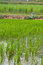 Stock Image : Rice farm