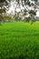 Stock Image : Rice Field