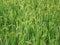 Stock Image : Rice