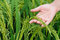 Stock Image : Rice paddy