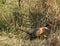 Stock Image : Ring-neck Pheasant