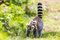 Stock Image : Ring-Tailed Lemur With Baby