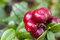 Stock Image : Ripe cowberry