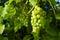 Stock Image : Ripe green grapes