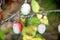 Stock Image : Ripe plum