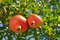 Stock Image : Ripe pomegranate fruits in the tree