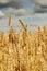 Stock Image : Ripe wheat on a field.