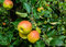 Stock Image : Ripening apples from close