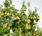 Stock Image : Ripening pears hanging on the trees