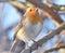 Stock Image : ROBIN BIRD .
