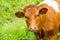 Stock Image :  Rode koe in een groen weiland