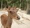 Stock Image : Roe Deer Doe
