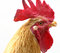 Stock Image : Rooster Portrait