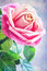Stock Image :  Rosa stieg