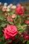 Stock Image : Rose garden
