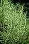 Stock Image : Rosmarinus officinalis