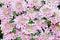 Stock Image : Rossano flower