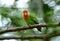 Stock Image : Rosy-faced lovebird (Agapornis roseicollis)