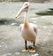 Stock Image : Rosy pelican