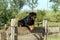 Stock Image : Rottweiler