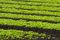 Stock Image : Rows of baby lettuce leaf salad plants