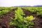 Stock Image : Rows of peanut plants