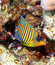 Stock Image : Royal angelfish