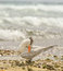 Stock Image : Royal Tern on Beach