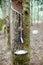 Stock Image : Rubber tree