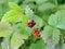 Stock Image : Rubus arcticus