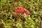 Stock Image : Russula paludosa