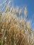 Stock Image : Rye
