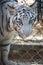 Stock Image : Sad tiger