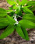 Stock Image : Sage (Salvia) Salbei