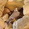 Stock Image : Saker falcon (Falco cherrug)
