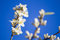 Stock Image : Sakura flower